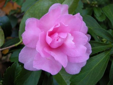 Camellia x 'Ashton's Ballet'