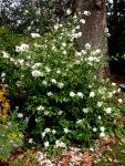 Camellia x 'SnowFlurry'