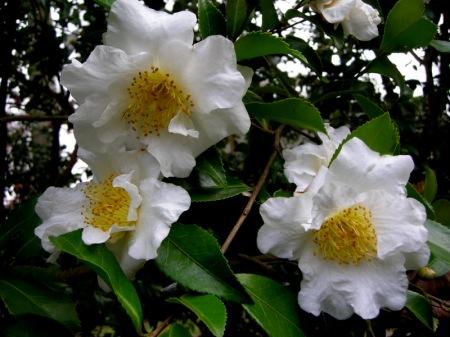 Camellia x (Ackerman seedling)