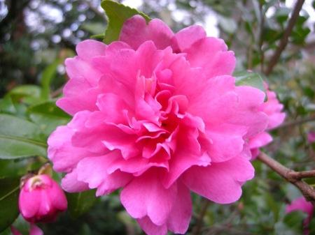Camellia x 'Autumn Spirit'