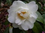Camellia x 'PolarIce'