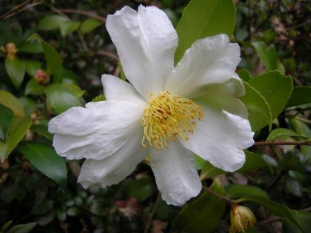 Camellia x 'Survivor'