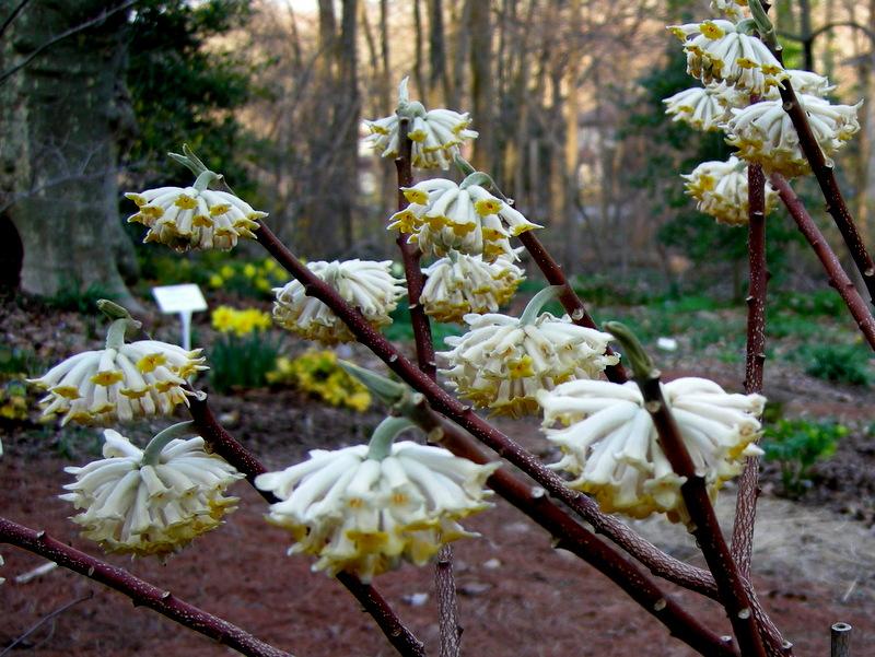 Edgeworthia chrysantha carolyn 39 s shade gardens for Edgeworthia chrysantha