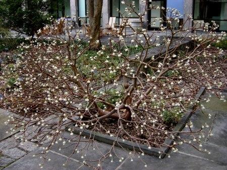 Edgeworthis chrysantha