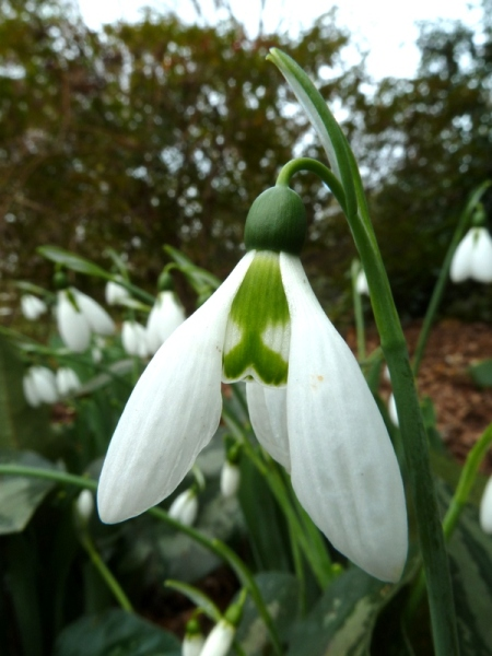 Galanthus elwesii 'Standing Tall' Cresson photo-005