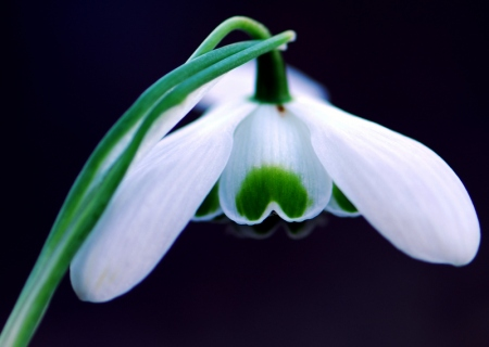 Galanthus 'Hippolyta' photo Paddy Tobin