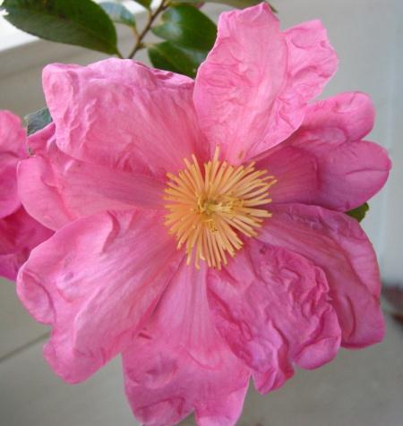 Camellia x 'Moon Festival'