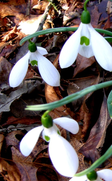 Galanthus 'Mighty Atom' Cresson Garden