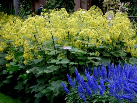 Longwood Velvet Groundsel & Flowering-bush Plectranthus