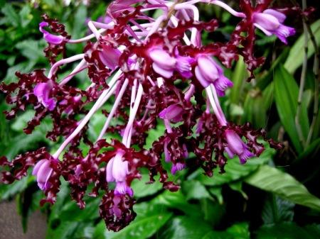 Schomburgkia undulata