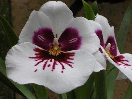 Miltoniopsis Mary Sugiyama