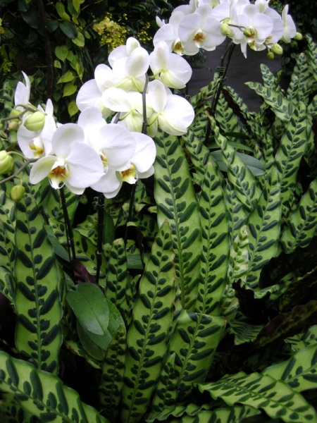 Orchids with Calathea lancifolia, prayer plant