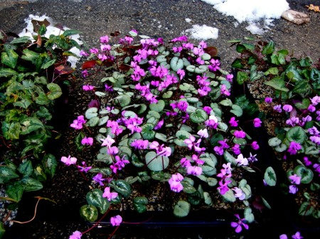 Cyclamen at Carolyn's Shade Gardens
