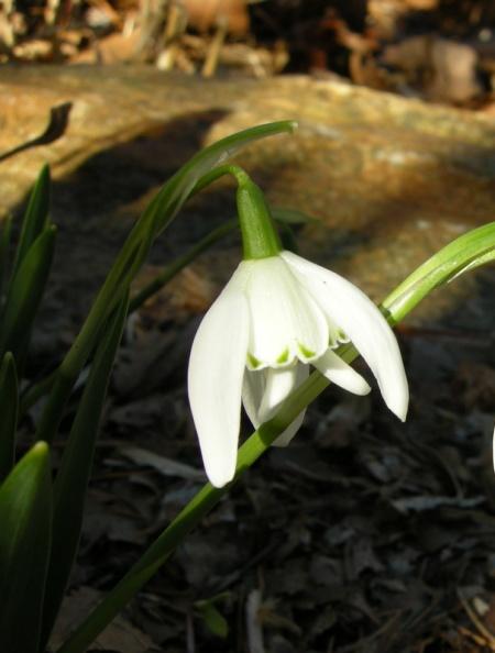 Galanthus 'Lady Beatrix Stanley'