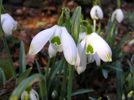Galanthus 'Ophelia'