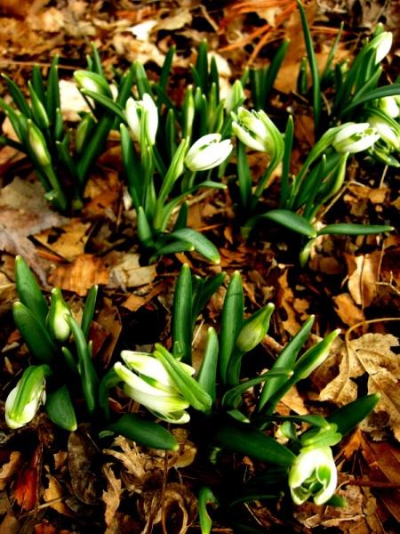 Galanthus 'Blewbury Tart'