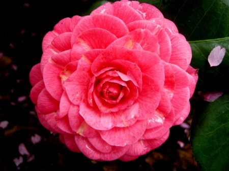 Camellia x 'April Rose'