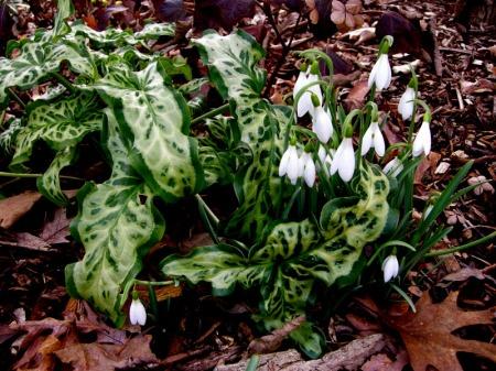 Galanthus 'Atkinsii' & Arum italicum 'Pictum'
