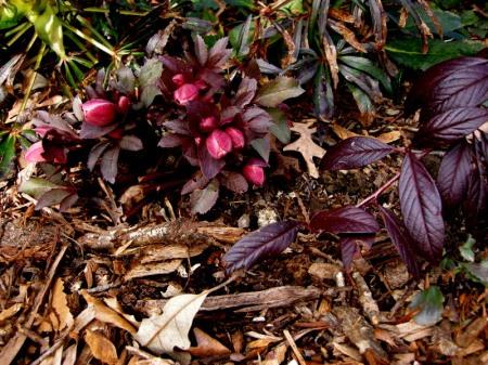 Helleborus x ballardiae 'Pink Frost' with Cotoneaster salicifolius 'Henryi'