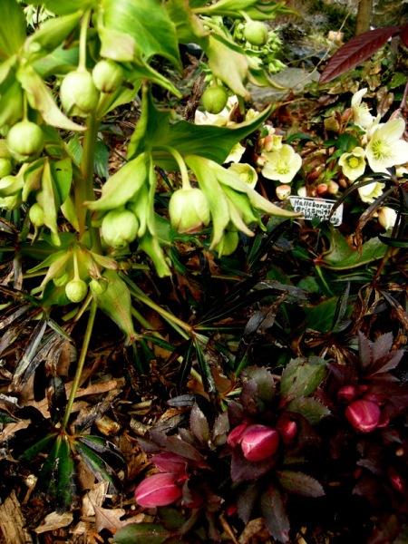Helleborus foetidus & Helleborus x ballardiae 'Pink Frost'