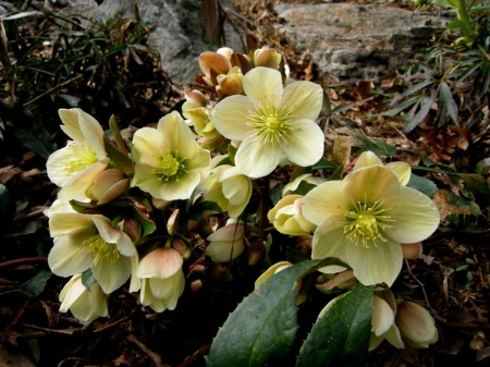 Helleborus x ericsmithii 'Winter's Song'