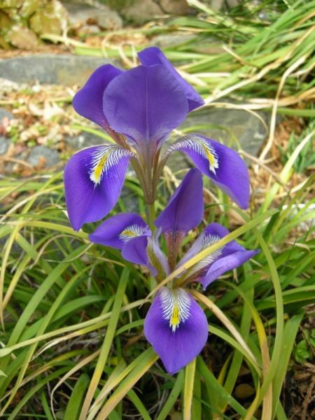 Iris unguicularis subsp. cretensis