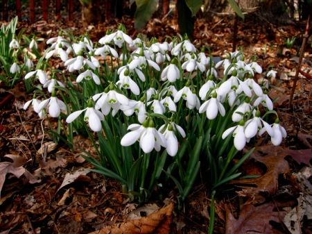 Galanthus 'Mighty Atom'