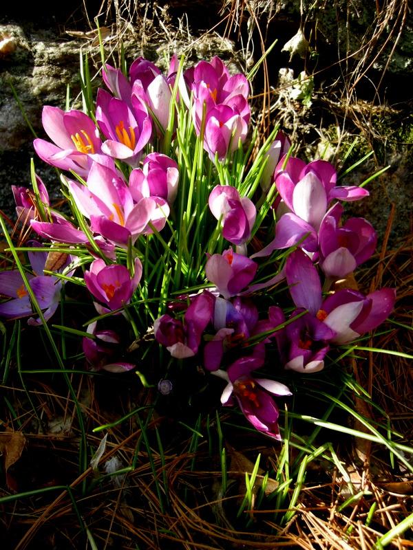 8b950afd8 Iris unguicularis subsp. cretensis