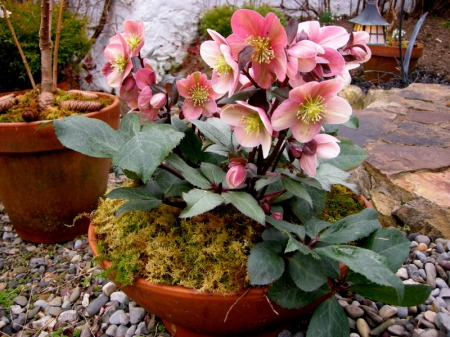 hellebore pink frost at David Culp's