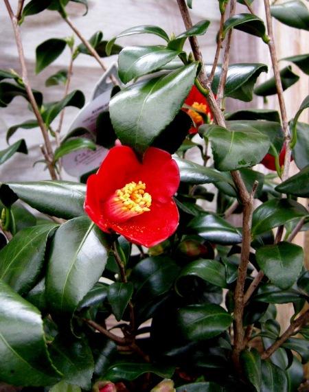 Camellia japonica 'Korean Fire'