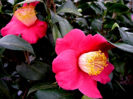 Camellia x 'Spring's Promise'