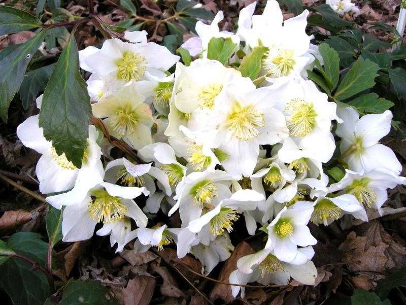 helleborus x ballardiae cinnamon snow carolyn 39 s shade gardens. Black Bedroom Furniture Sets. Home Design Ideas