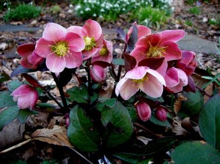 Helleborus x 'Pink Frost'