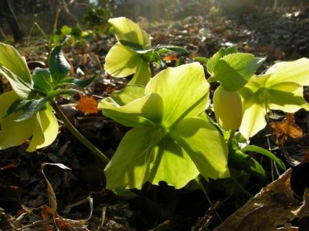 Helleborus x 'Warbler'