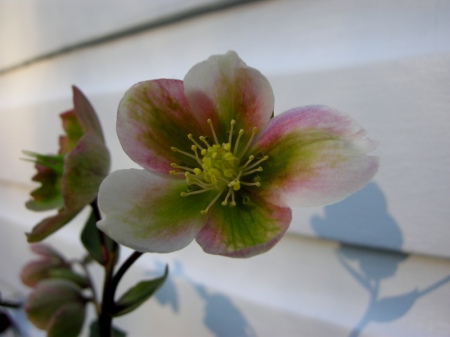 Helleborus x sahinii 'Winter Bells,