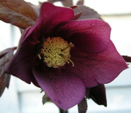 Helleborus x 'Red Lady'