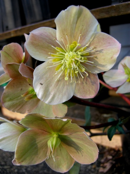 Helleborus x ballardiae 'Cinnamon Snow'