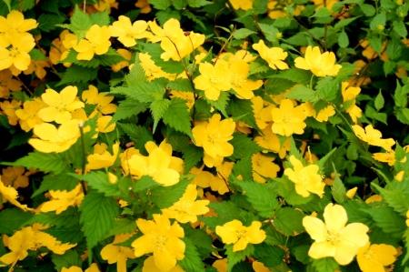 Kerria japonica Golden Guinea_DK