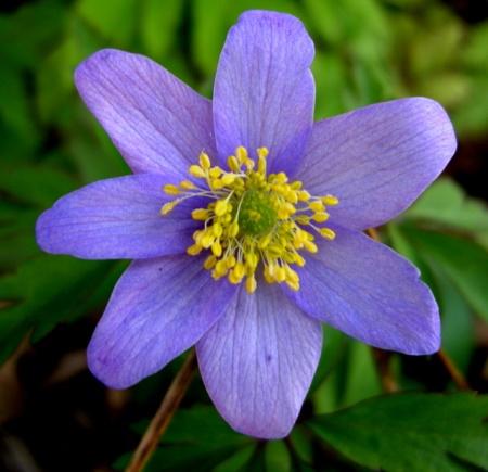 A. nemorosa 'Robinsoniana'