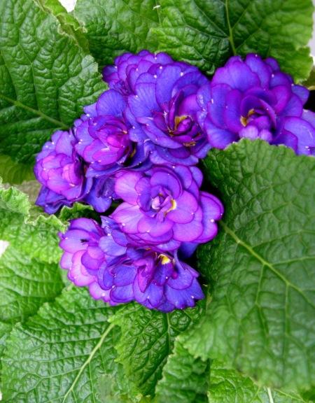 Primula 'Belarina Cobalt Blue'