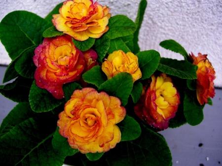 Primula 'Belarina Nectarine'