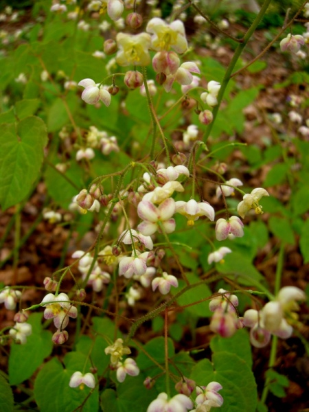 Epimedium pubigerum
