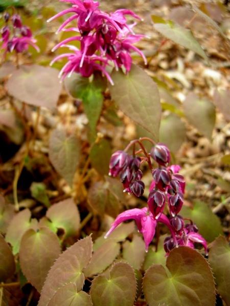 Epimedium grandiflorum 'Yubae'