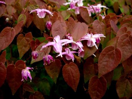 Epimedium grandiflorum var. violaceum