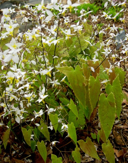 "Epimedium stellultum ""Long Leaf Form"""