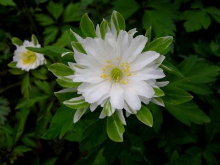 Anemone nemorosa 'Bractiata'