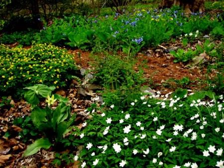 Anemone nemorrosa 'Vestal' and Anemone ranunculoides