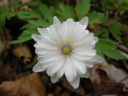 Anemone nemorosa 'Blue Eye'
