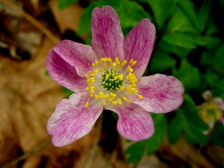 Anemone nemorosa pink form
