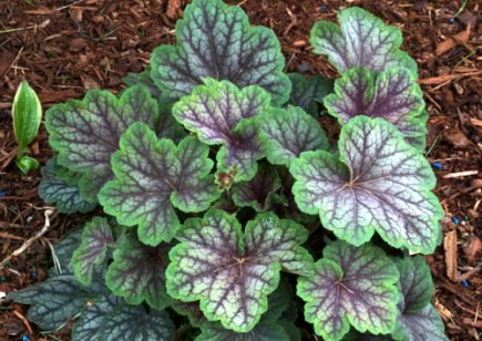 Heuchera 'Green Spice' Terra Nova photo